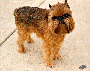 Brussels Griffon Pictures